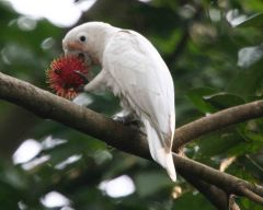 Cockatoo, By Lip Kee Yap [CC-BY-SA-2.0 (http://creativecommons.org/licenses/by-sa/2.0)], via Wikimedia Commons