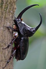 Rhinoceros Beetle, By Geoff Gallice (Flickr) [CC-BY-2.0 (http://creativecommons.org/licenses/by/2.0)], via Wikimedia Commons