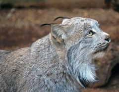 Canadian Lynx, by Art G. [CC-BY-2.0 (http://creativecommons.org/licenses/by/2.0)], via Wikimedia Commons
