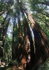 Redwood Trees, by Two+two=4 (Own work) [Public domain], via Wikimedia Commons