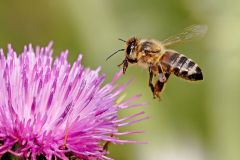 Honeybee, by Fir0002 [GFDL 1.2 (http://www.gnu.org/licenses/old-licenses/fdl-1.2.html)], via Wikimedia Commons