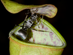 Pitcher Plant with Ant, By Bauer et al. [CC-BY-2.5 (http://creativecommons.org/licenses/by/2.5)], via Wikimedia Commons