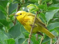 Yellow Warbler, by GeoffClarke (http://geoffclarke.hubpages.com/hub/Canadian-Birds) [CC-BY-SA-3.0 (http://creativecommons.org/licenses/by-sa/3.0)]
