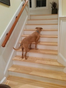 The day before her 7th birthday, Hops finally learned how to climb the slippery stairs at the beach house. Who says you can't teach an old dog new tricks?