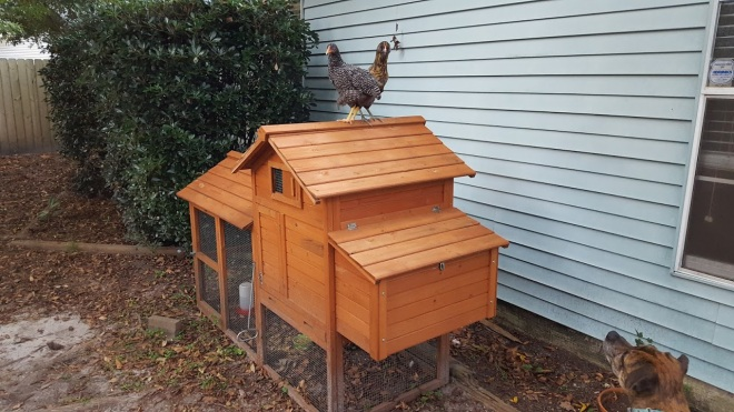 The ladies have started sleeping on top of the coop lately. And letting us pet them! I had no idea chickens were so soft.